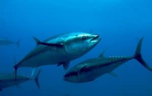 algarvexcite bluefin tuna